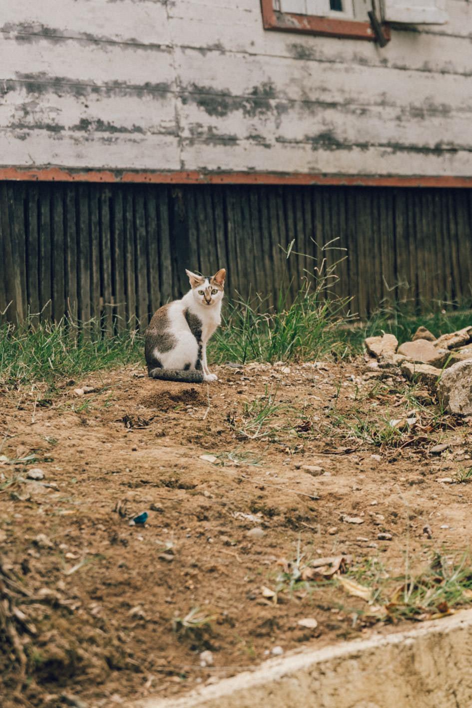 Indonesian cat